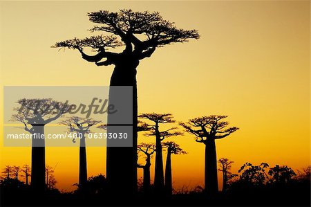 baobabs in sunset,  silhouetted in Madagascar Stock Photo - Budget Royalty-Free, Image code: 400-06393030