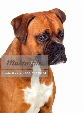 Beautiful Boxer dog isolated on white background Stock Photo - Budget Royalty-Free, Image code: 400-06395644