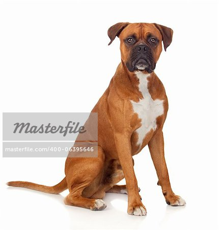 Beautiful Boxer dog isolated on white background Stock Photo - Budget Royalty-Free, Image code: 400-06395646