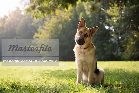 young german shepherd sitting on grass in park and looking with attention at camera, tilting head Stock Photo - Budget Royalty-Free, Image code: 400-06457902