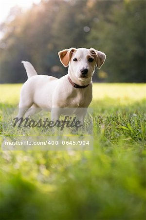 puppy jack russell standing on grass in park and looking at camera with attention. Full length, copy space Stock Photo - Budget Royalty-Free, Image code: 400-06457904