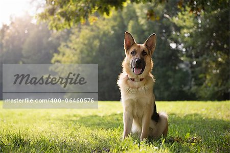 young german shepherd sitting on grass in park and looking with attention at camera Stock Photo - Budget Royalty-Free, Image code: 400-06460576