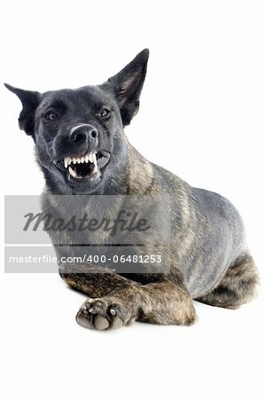 portrait of an aggressive holland shepherd in a studio Stock Photo - Budget Royalty-Free, Image code: 400-06481253