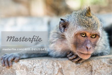 Artful monkey looking in the camera and is ready to grab, crab-eating macaque or the long-tailed macaque (Macaca fascicularis), Bali. Selective focus on eyes. Stock Photo - Budget Royalty-Free, Image code: 400-06520645