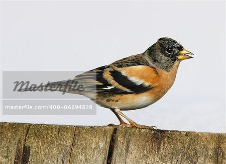Close up of a male Brambling perched on a tree stump Stock Photo - Budget Royalty-Free, Image code: 400-06694828