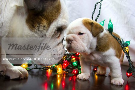 Christmas lights tangled up with Bulldogs Stock Photo - Budget Royalty-Free, Image code: 400-06919763