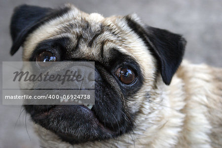 A pug shows her teeth for the camera in this comical pose. Stock Photo - Budget Royalty-Free, Image code: 400-06924738