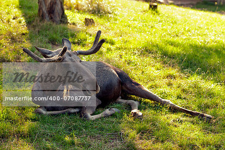 The moose (North America) or Eurasian elk (Europe) Stock Photo - Budget Royalty-Free, Image code: 400-07087737