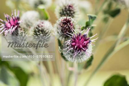 thistle flowers in a sunny day on an indistinct background Stock Photo - Budget Royalty-Free, Image code: 400-07093632