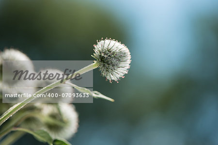 thistle flowers in a sunny day on an indistinct background Stock Photo - Budget Royalty-Free, Image code: 400-07093633