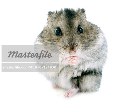 russian hamster in front of white background Stock Photo - Budget Royalty-Free, Image code: 400-07124930