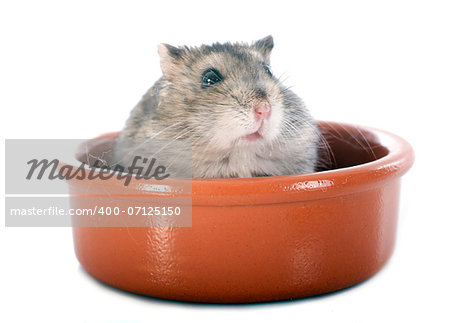 russian hamster in front of white background Stock Photo - Budget Royalty-Free, Image code: 400-07125150