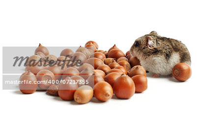 hamster sits surrounded by acorns on white background Stock Photo - Budget Royalty-Free, Image code: 400-07217355