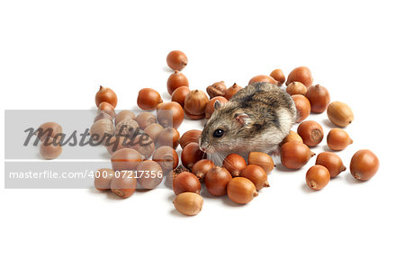 hamster sits surrounded by acorns on white background Stock Photo - Budget Royalty-Free, Image code: 400-07217356