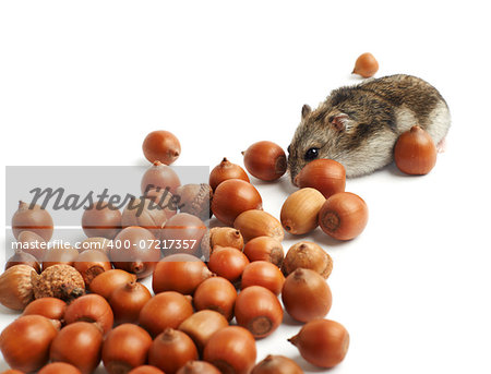 hamster sits surrounded by acorns on white background Stock Photo - Budget Royalty-Free, Image code: 400-07217357