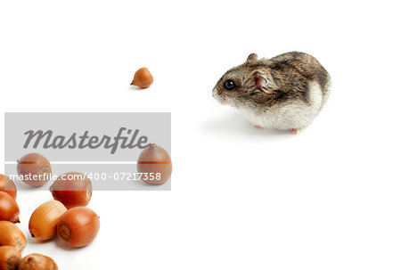 hamster sits surrounded by acorns on white background Stock Photo - Budget Royalty-Free, Image code: 400-07217358