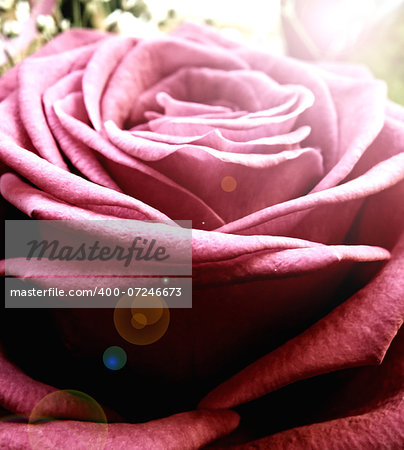 Macro closeup detail of pink rose. Flower. Summer time. Stock Photo - Budget Royalty-Free, Image code: 400-07246673