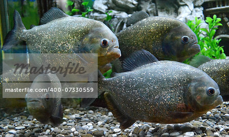 piranha fish Stock Photo - Budget Royalty-Free, Image code: 400-07330559