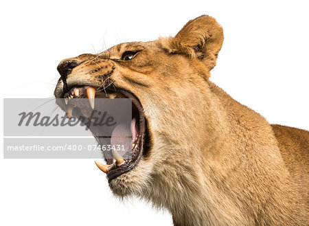 Close-up of a Lioness roaring, Panthera leo, 10 years old, isolated on white Stock Photo - Budget Royalty-Free, Image code: 400-07463431