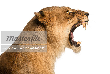 Close-up of a Lioness roaring profile, Panthera leo, 10 years old, isolated on white Stock Photo - Budget Royalty-Free, Image code: 400-07463437