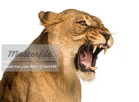 Close-up of a Lioness roaring, Panthera leo, 10 years old, isolated on white Stock Photo - Budget Royalty-Free, Image code: 400-07463438