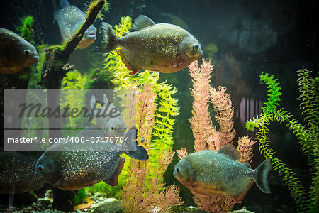 Shoal of tropical piranha fishes in freshwater aquarium Stock Photo - Budget Royalty-Free, Image code: 400-07470704