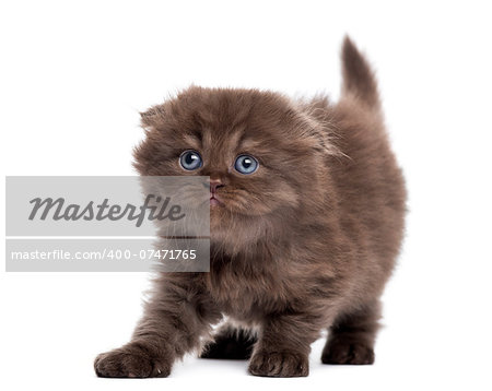 Highland fold kitten stretching, looking upwards, isolated on white Stock Photo - Budget Royalty-Free, Image code: 400-07471765