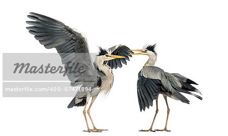 Two Grey Herons flapping Stock Photo - Budget Royalty-Free, Image code: 400-07471894