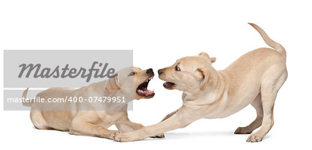 Young Labrador Retriever, 4 months old Stock Photo - Budget Royalty-Free, Image code: 400-07479951