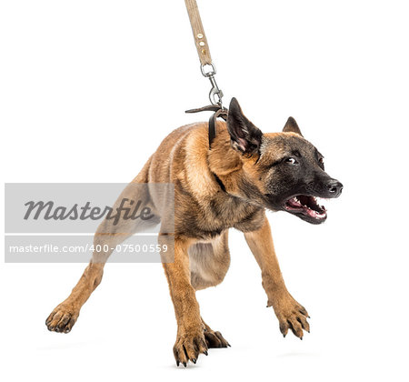 Belgian Shepherd leashed and aggressive Stock Photo - Budget Royalty-Free, Image code: 400-07500559