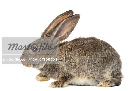 Rabbit, isolated on white Stock Photo - Budget Royalty-Free, Image code: 400-07505001