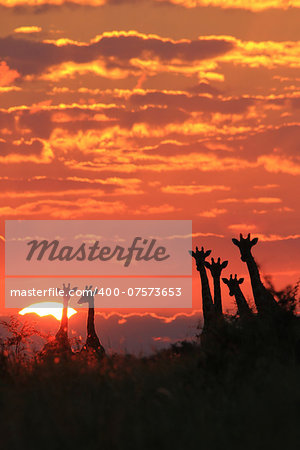 An African sunset with a herd of Giraffe silhouettes.  As photographed in the wilds of Africa. Stock Photo - Budget Royalty-Free, Image code: 400-07573653