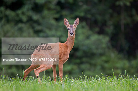 Roe deer in a grass Stock Photo - Budget Royalty-Free, Image code: 400-07580206