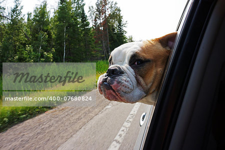 Image of a bulldog hanging head out of car window while driving along Stock Photo - Budget Royalty-Free, Image code: 400-07680824