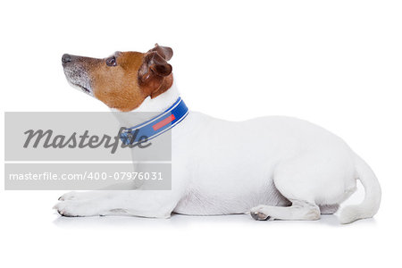 bad behavior dog being punished by owner looking up , isolated on white background Stock Photo - Budget Royalty-Free, Image code: 400-07976031