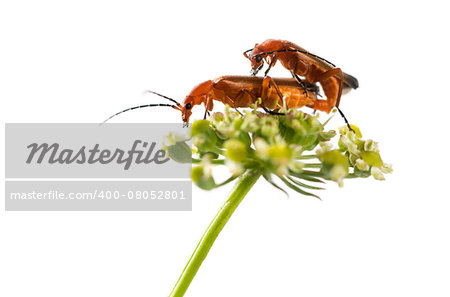 Common red soldier beetle, Rhagonycha fulva, mating on a flower in front of a white background Stock Photo - Budget Royalty-Free, Image code: 400-08052801