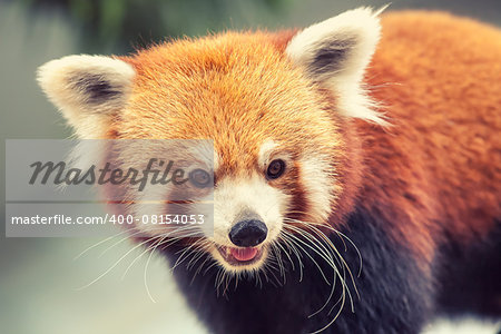 Portrait of a Red Panda, Firefox or Lesser Panda - Ailurus fulgens Stock Photo - Budget Royalty-Free, Image code: 400-08154053