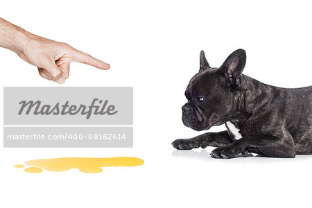 french bulldog dog being punished for urinate or pee  at home by his owner, isolated on white background Stock Photo - Budget Royalty-Free, Image code: 400-08162614