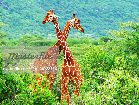Fight of two giraffes. Africa. Kenya. Samburu national park. Stock Photo - Budget Royalty-Free, Image code: 400-08222886