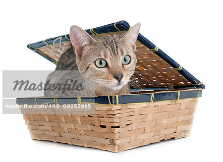 bengal cat silver in front of white background Stock Photo - Budget Royalty-Free, Image code: 400-08253885