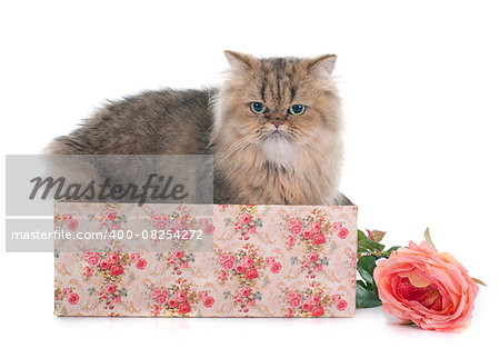 persian cat in front of white background Stock Photo - Budget Royalty-Free, Image code: 400-08254272