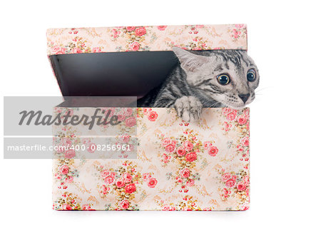 bengal kitten in front of white background Stock Photo - Budget Royalty-Free, Image code: 400-08256961