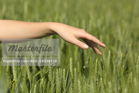 Woman hand touching softly wheat in a field Stock Photo - Budget Royalty-Free, Image code: 400-08334330