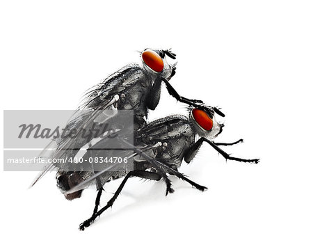 Mating flyes, two common grey flyes isolated on white background, extreme closeup macro on an creepy domastic insect with red eyes, invertebrate animals details, vermin Stock Photo - Budget Royalty-Free, Image code: 400-08344706