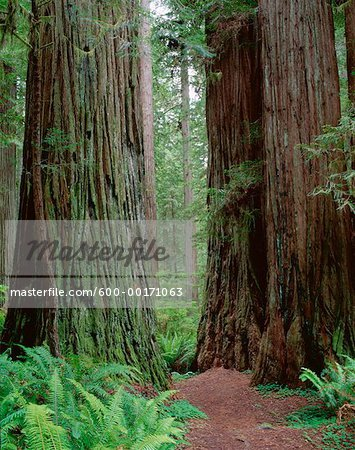 Redwood Forest, Jedidiah Smith State Park, California, USA Stock Photo - Premium Royalty-Free, Image code: 600-00171063