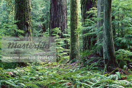 Rainforest, Cathedral Grove, Vancouver Island, British Columbia, Canada