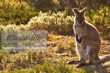 Bennett's Wallaby, Walls of Jerusalem National Park, Tasmania, Australia