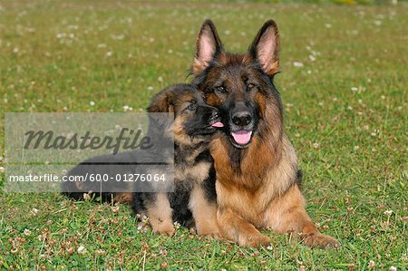 German Shepherd with Puppy