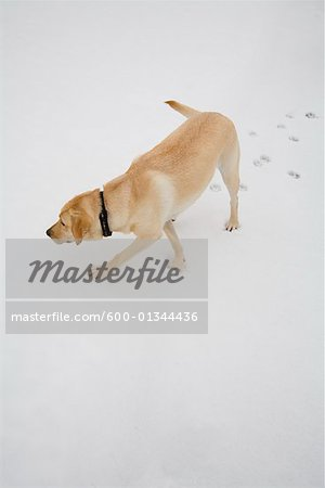 Dog Tracking in Snow Stock Photo - Premium Royalty-Free, Image code: 600-01344436