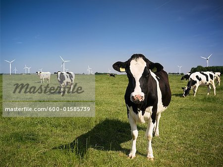 Portrait of Dairy Cows